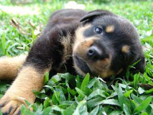 rottweiler_cachorro